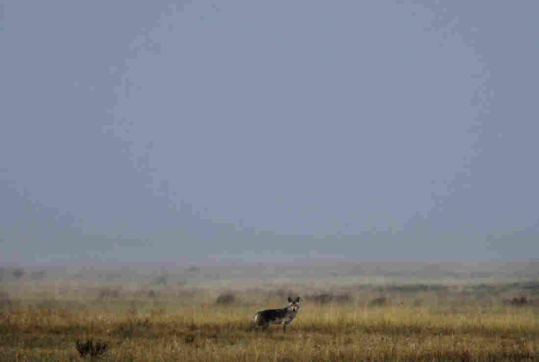 A coyote in the Centennial Valley, Montana.