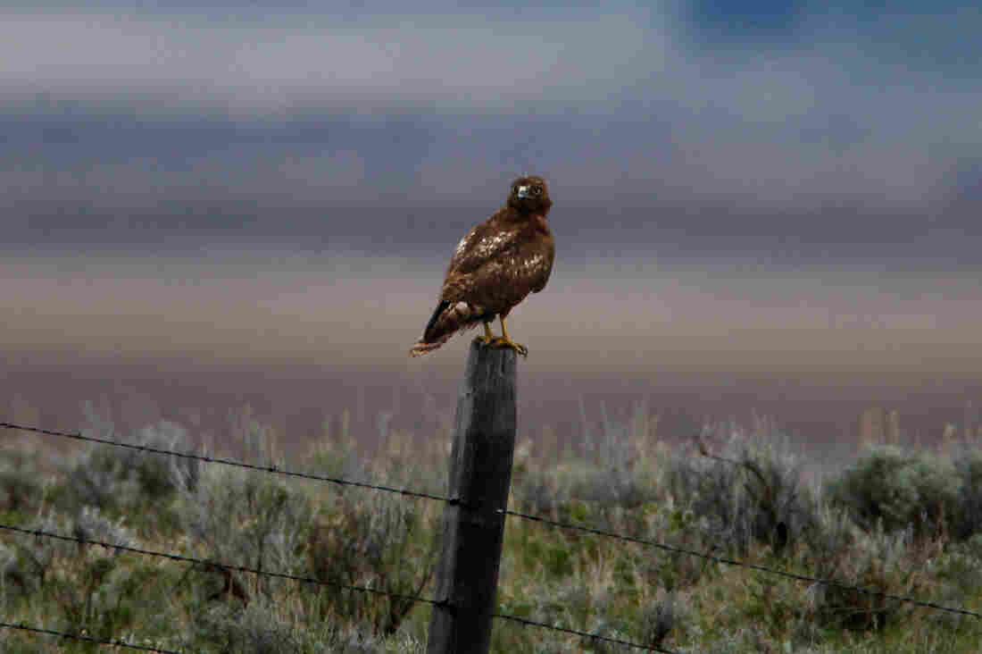A hawk perches on a fencepost in the Centennial Valley, Montana.