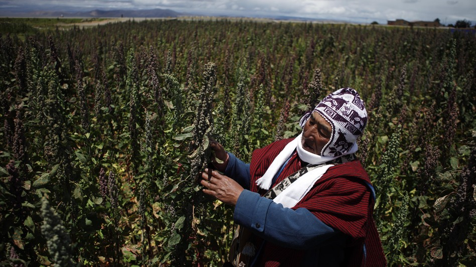 Farmer Geronimo Blanco shows his quinoa plants in Patamanta, Bolivia, in February. A burgeoning global demand for quinoa has led to a threefold price increase since 2006. (AP)