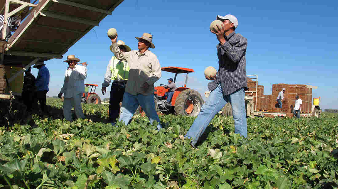Farmworkers harvest and package cantaloupes near Firebaugh, Calif.