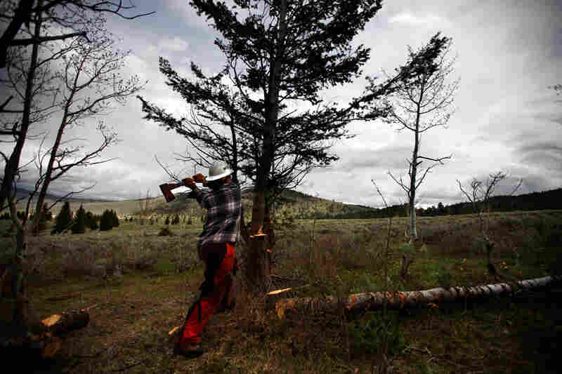 An arborist from the Montana Conservation Corps works to clear pine trees from land in Centennial Valley, Mont.