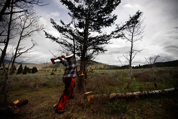 An arborist from the Montana Conservation Corps works to clear pine trees from land in Centennial Valley, Mont. (NPR)