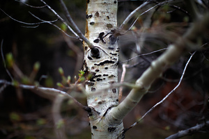 A budding aspen tree remains standing at the base of the Centennial Range. Unlike pine trees, aspens are a natural part of the landscape here. They are largely resistant to the natural brush fires that have historically spread through this area.