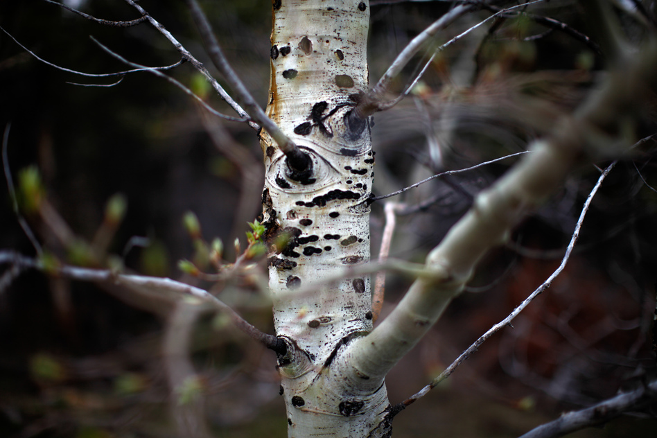 A budding aspen tree remains standing at the base of the Centennial Range. Unlike pine trees, aspens are a natural part of the landscape here. They are largely resistant to the natural brush fires that have historically spread through this area. (NPR)