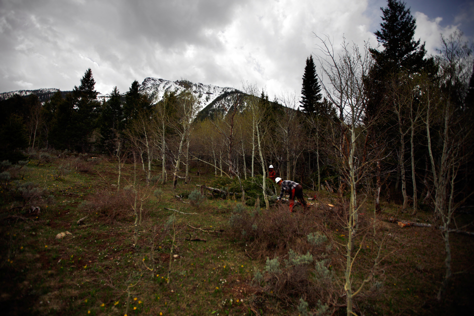 A view of pines and aspens with the Centennial Range in the background. The Forest Service says it needs to thin or perform prescribed burns in more than 200 million acres of land. (NPR)