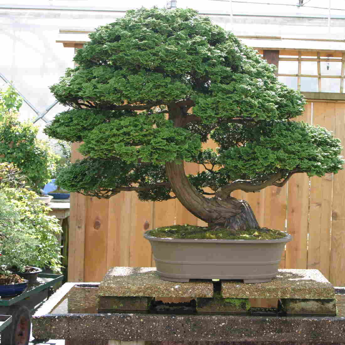 """A Hinoki cypress at Brussel Martin's bonsai nursery in Mississippi. He has nurtured it for 40 years, which is half its life. """"I turned down $40,000 for it a year ago,"""" Martin says. """"It is worth twice that. I call it Big Bertha."""""""