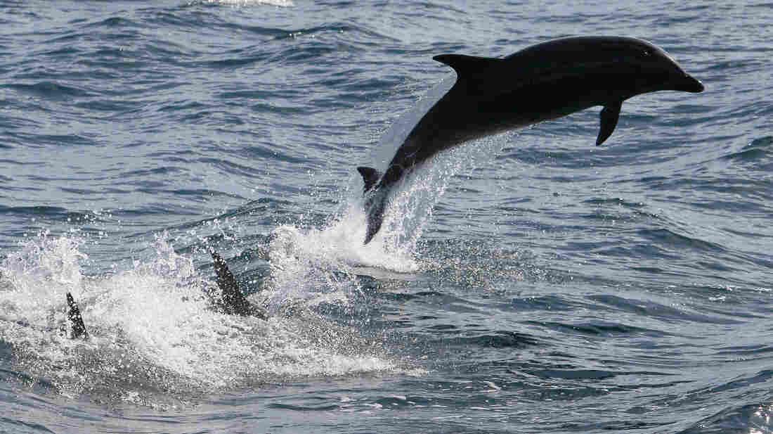 Bottle-nosed dolphins leap out of the water near Dana Point, Calif.
