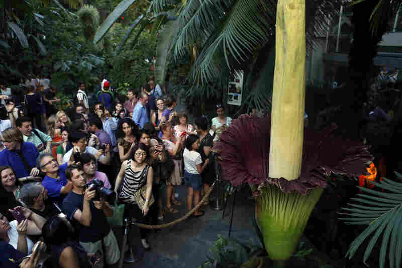 A crowd surrounds a corpse flower, a giant rain forest plant known for its awful smell, at the U.S. Botanic Garden in Washington, D.C., on Monday.