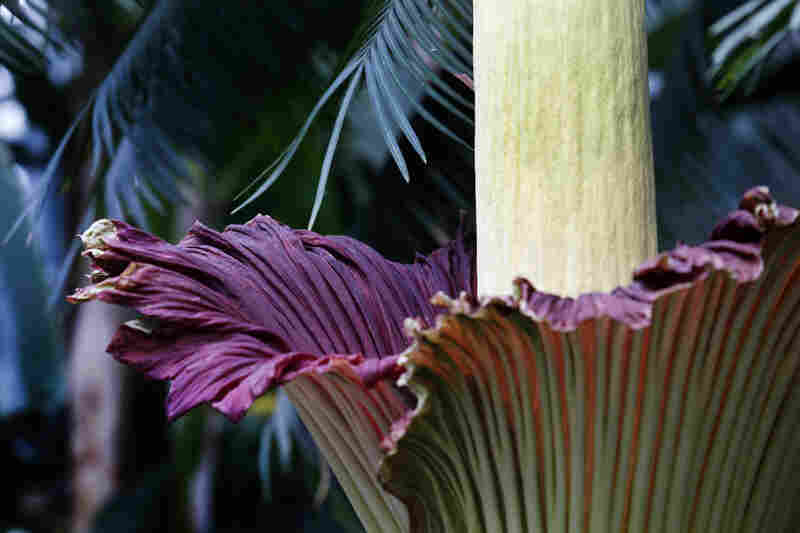 In addition to its smell, the color of the corpse flower is meant to imitate that of rotting flesh and raw meat.