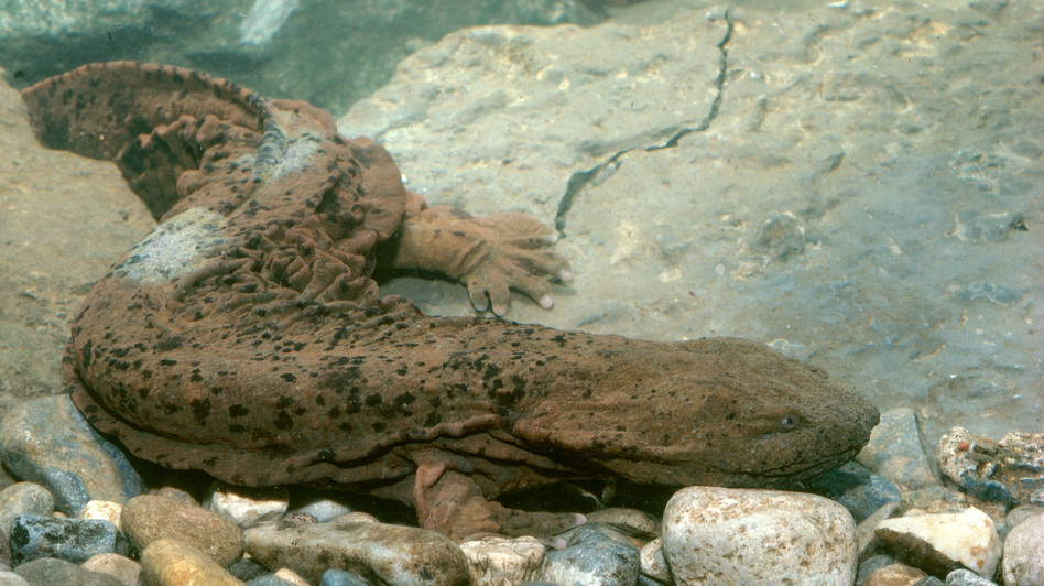 """Biologists normally look for the hellbender slamander, which is known by the nickname """"snot otter,"""" under rocks in streams. But now there's a gentler way: They can take water samples and look for traces of the animals' DNA. (Robert J. Erwin/Science Source)"""