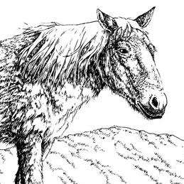 Yukon horse, Equus lambei
