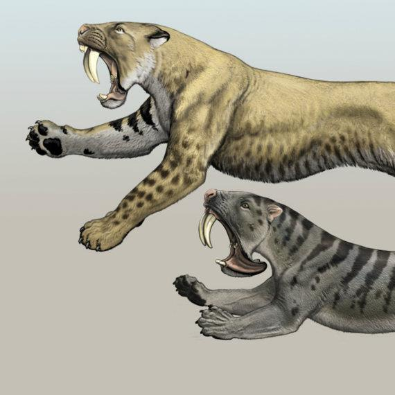 Smilodon, northerner and Thylacosmius, southerner.