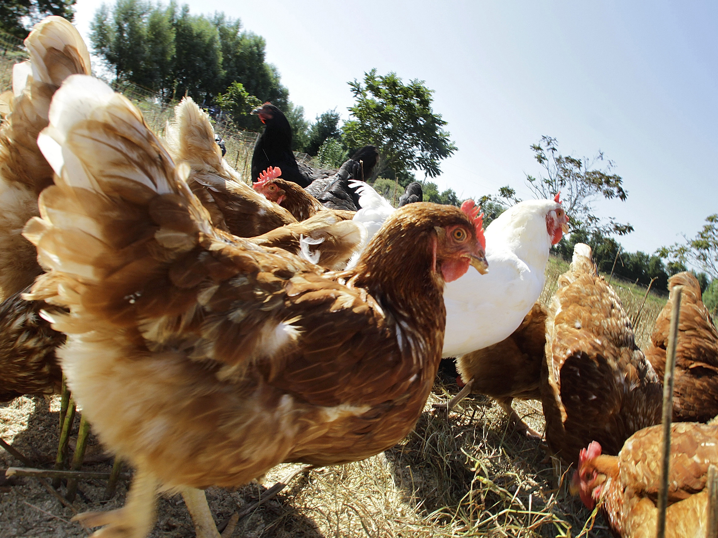 The FDA Doesn't Want Chickens To Explore The Great Outdoors