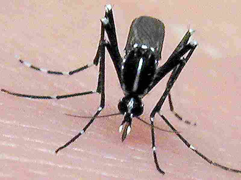The Asian tiger mosquito, an invasive, disease-carrying pest, was likely introduced to the United States from used tires shipped over from Asia.