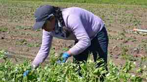 Agricultural work, which is physically demanding, is also a risky