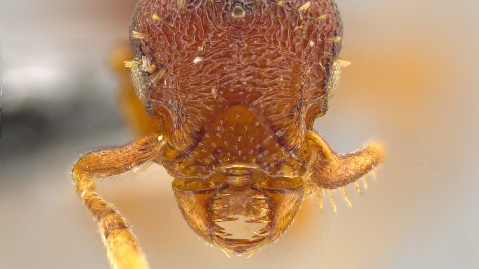 Note the sideways-moving jaws on the face of this queen of the ant species <em>Octostruma convallis.</em>