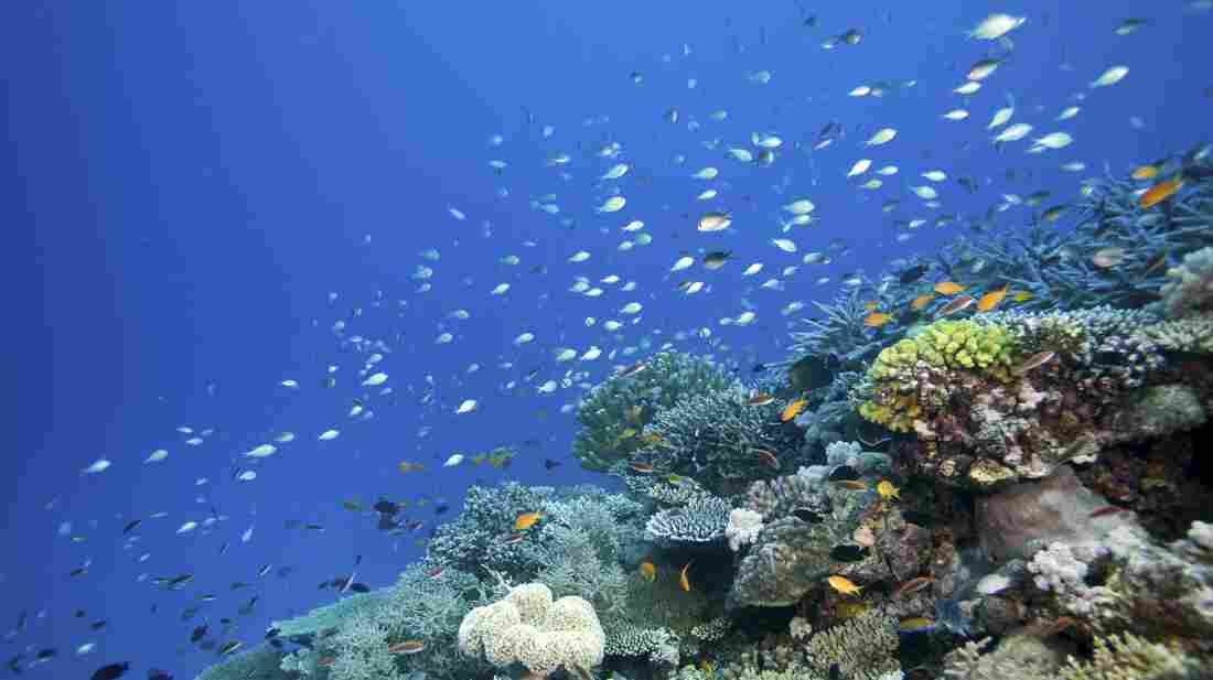 Changes to the acidity of the Earth's ancient oceans affected the coral reefs more than 50 million years ago. And researchers are using that information to try to predict how the planet might fare in our rapidly changing climate. Above, the Wheeler Reef section of the Great Barrier Reef.