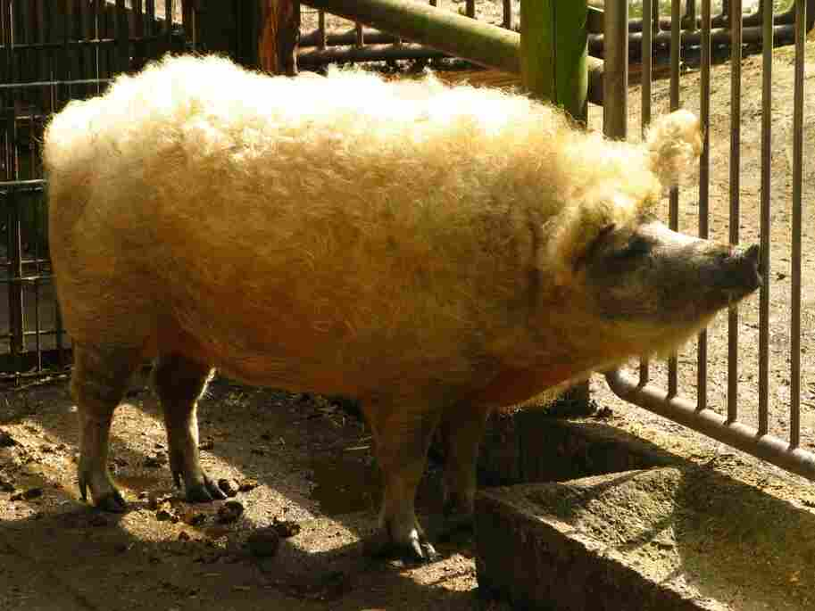 A Mangalitsa pig in 2008.