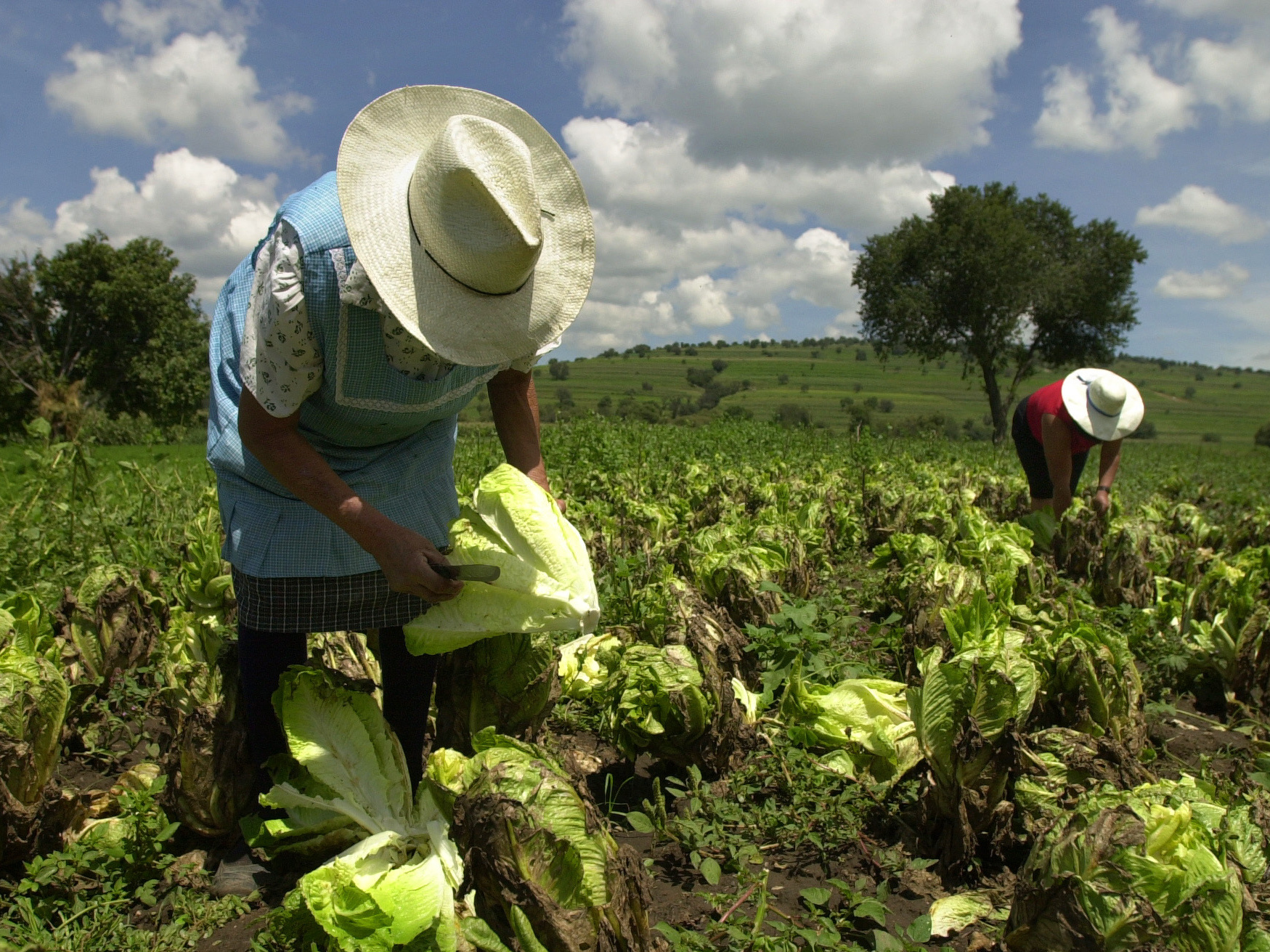 FDA: Infected Lettuce At U.S. Restaurants Traced To Mexico