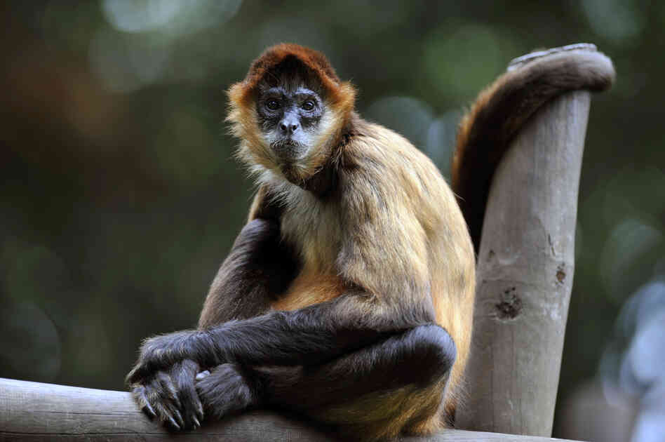 A spider monkey sits inside its cage last month at the Simon Bolivar Zoo, which recently celebrated its 97th anniversary, in San Jose, C