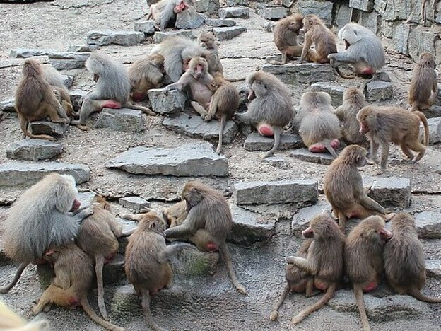 The Emmen Zoo's baboons last week, when they were looking so sad.