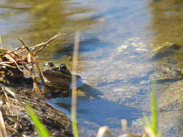 The Cascades frog is found only in the alpine wetlands of the Pacific Northwest, though its range used to extend down to Northern California and up to British Columbia. Scientists are concerned its range will continue to shrink with climate change.