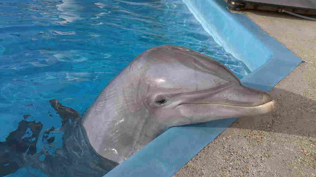 Kai, seen here at age 16 at the Texas State Aquarium, recognized the whistle of another dolphin, Hastings, who he'd shared a tank with for years before the experiment. Kai is now 20.