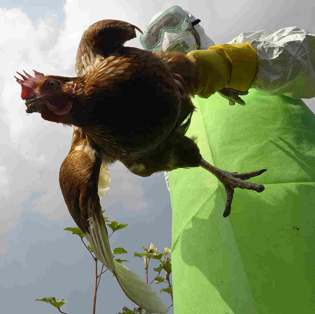 Some scientists think new types of bird flus should arise only in chickens, not in labs. Here a worker collects poultry on a farm in Kathmandu, Nepal, where the H5N1 virus was infecting animals in October 2011.