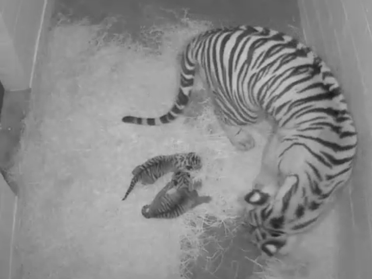 Stars And Stripes: Pair Of Sumatran Tigers Born At National Zoo
