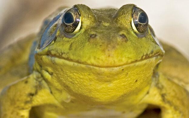 Head-on shot of a bullfrog