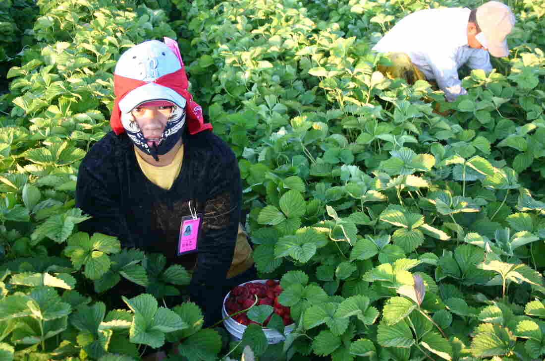A Triqui Mexican picks strawberries at a farm in Washington state.