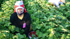 A Triqui Mexican picks strawberries at a farm in Washington state.