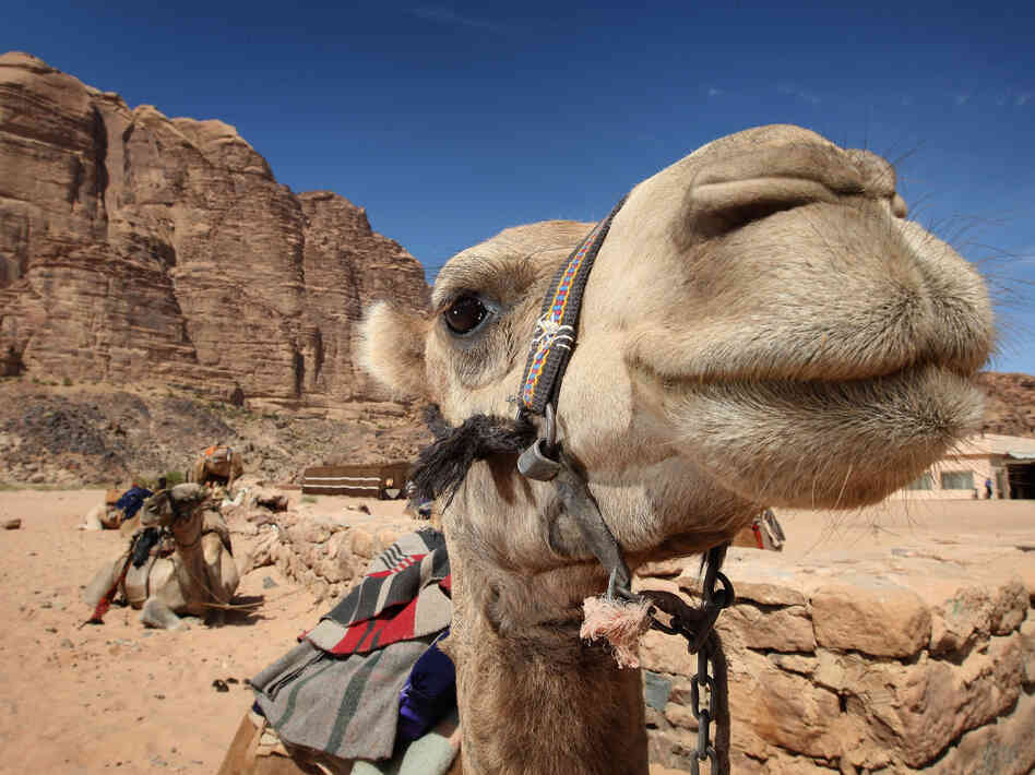 A dromedary camel waits for a tourist to hop on its back in Petra, Jordan. The country has recorded two cases of the Middle East respiratory syndrome.