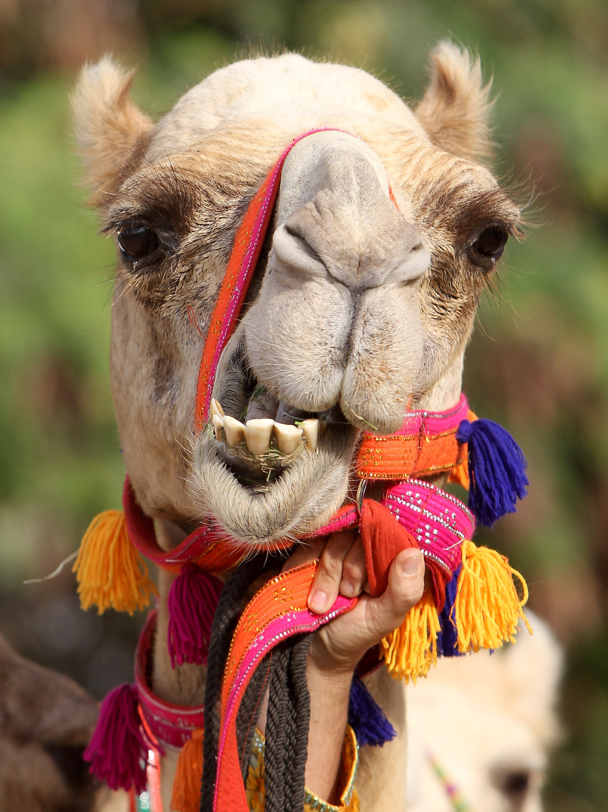 The camel's bushy eyebrows and double-set of lashes protect its eyes from sandstorms.
