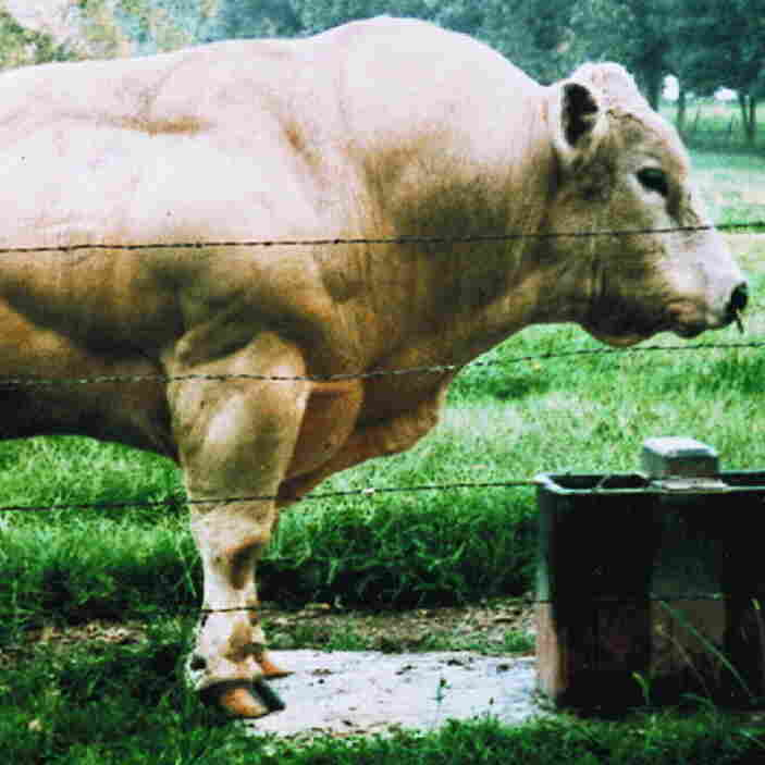 Belgian Blue bulls look like they are made of muscle because they have a mutation in the gene that codes for the protein myostatin. In humans, as in other types of cattle, myostatin normally limits the number of muscle fibers that form before birth and then limits the growth of those fibers later on.