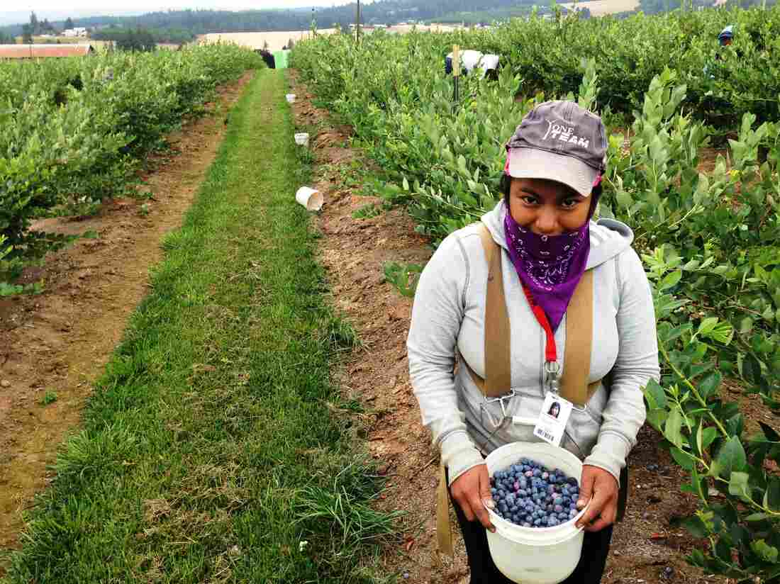 Picker Erika Nicolas Garcia, 18, fills her pail at a blueberry farm near Hillsboro, Ore.