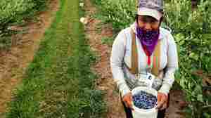Why This Year's Blueberry Bounty Has Growers Feeling Blue