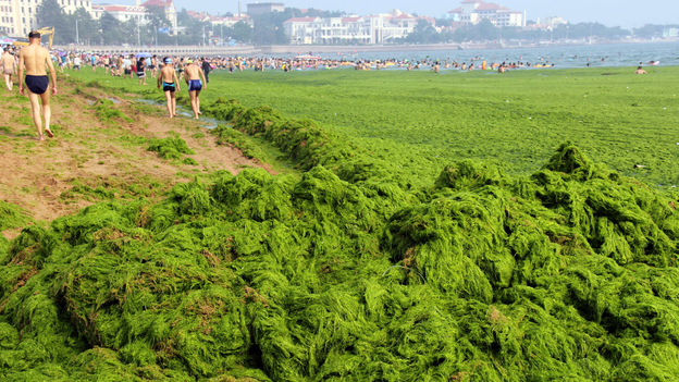 Chinese beachgoers walk by an algae-covered public beach in Qingdao, China, in July. The seas off China have been hit by their largest-ever growth of algae, ocean officials say, with waves of green growth washing onto the shores. (AFP/Getty Images)