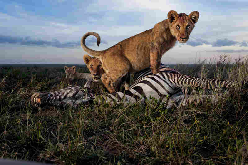 Cubs of the Simba East pride: too young to kill but old enough to crave meat. Adult females, and sometimes males, do the hunting. Zebras and wildebeests rank high as chosen prey in the rainy season.