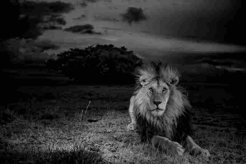 Lions kill lions. C-Boy, defending his interests, confronts that peril on a daily (and nightly) basis.