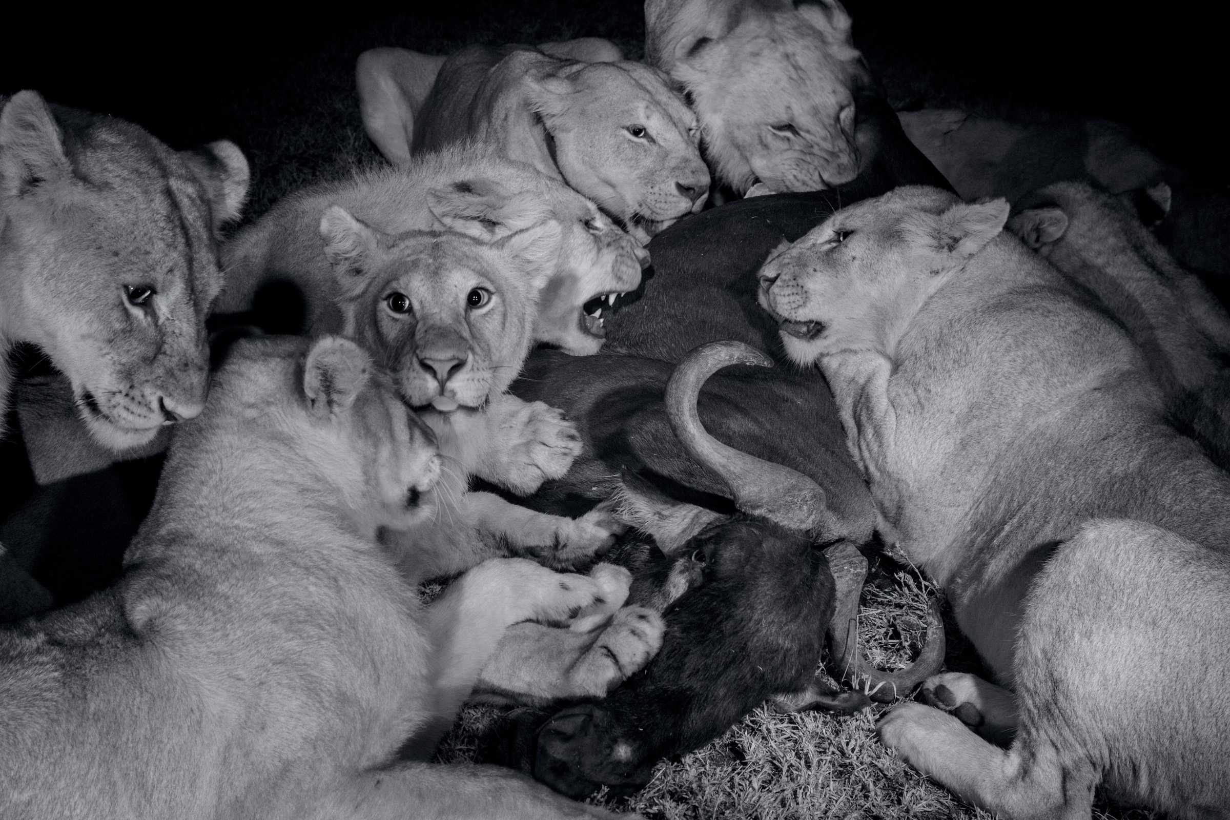 Large cubs of the Vumbi pride and a grown female (fifth from left) feast on a wildebeest. The darkest, moonless hours are prime hunting time because the cats can see better than their prey. These black-and-white photographs were made with infrared light to minimize disruption to the lions.