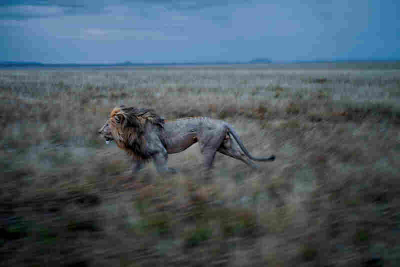 Hildur, C-Boy's partner, frequently makes a long run to visit the Simba East pride. A coalition that controls two prides must maintain vigilance over both.