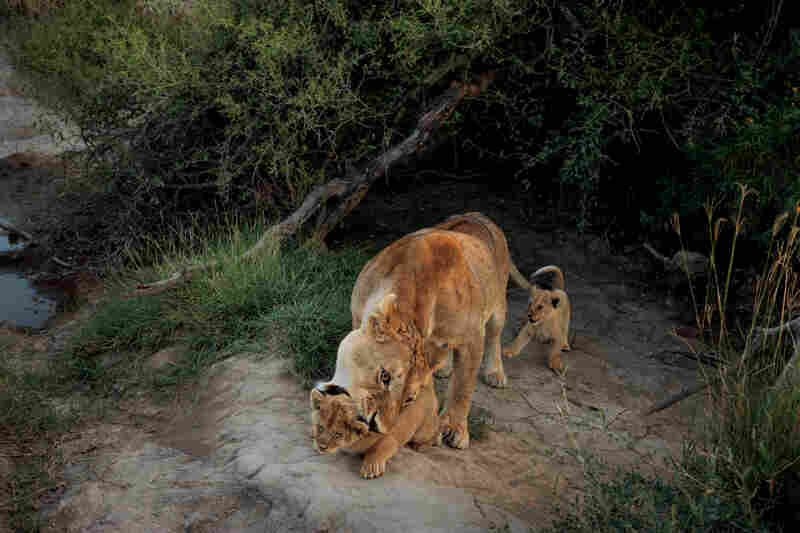 A female wrangles her infant cubs. During the first few weeks, when they're too young for the competitive jumble among older cubs in the pride and so vulnerable to predators, she keeps them hidden away in a den. But these will soon join the group.