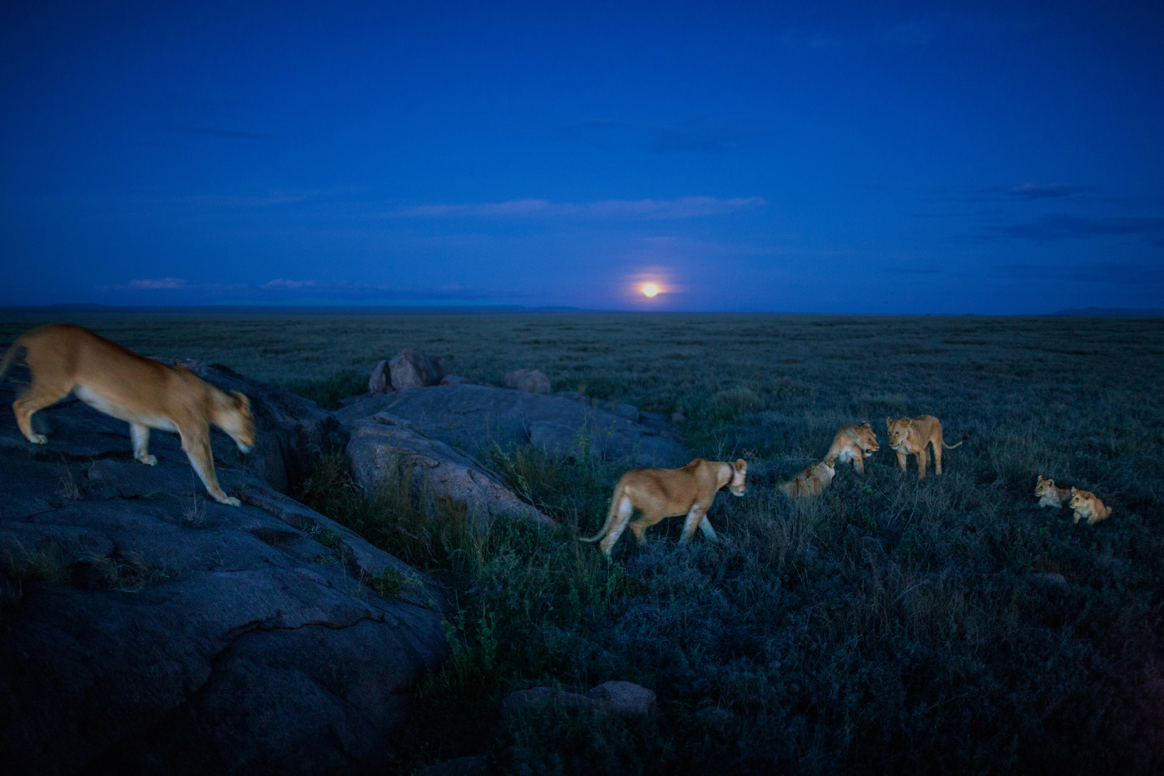 Dusk is a busy time for the Vumbi pride. As the moon rises, the lionesses rouse themselves from their afternoon naps, tussle in the grass, and set out on the evening hunt.