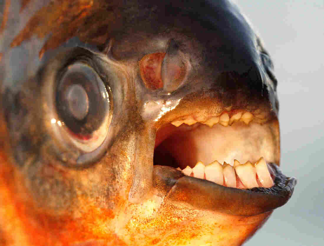 This pacu, a fish native to Brazil, was caught in the Øresund Sound, a body of water that separates Sweden and Denmark.
