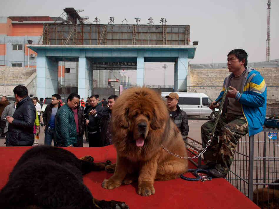 Close enough? A Tibetan mastiff, like this one, was placed in the African lion exhibit at a zoo in China's centra