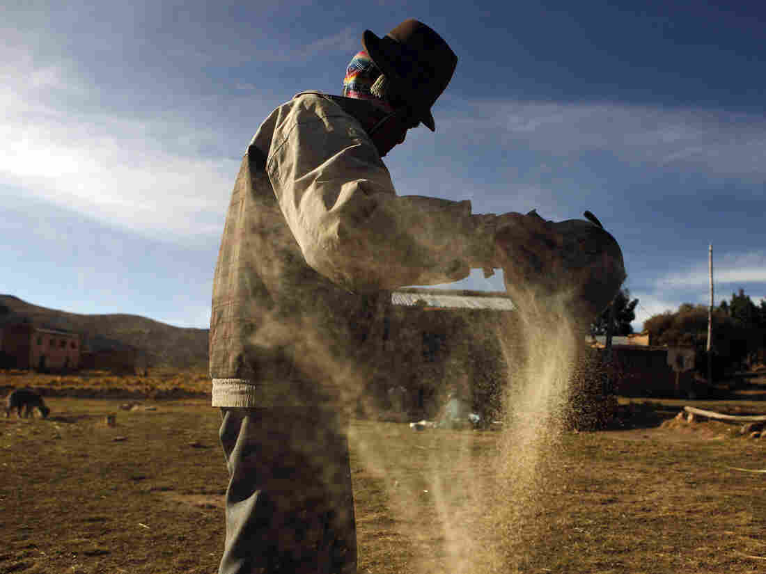 A man cleans quinoa grain in Pacoma, Bolivia.