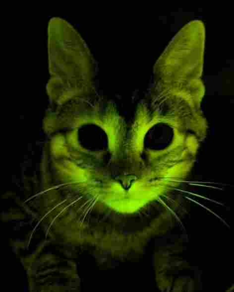 "From The Two-Way on Sept. 14, 2011: A cat who's ""glowing for science."""