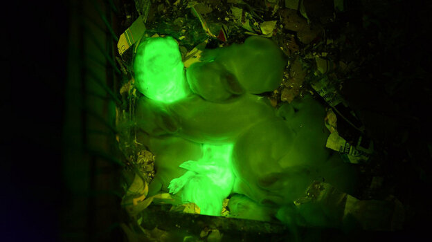 "Those are bright bunnies. (The photo shows the two that have the ""glowing gene,"" along with their siblings.)"