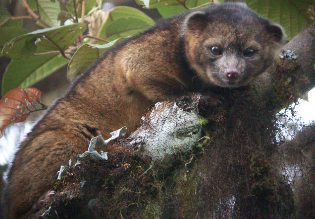 The olinguito is the first carnivore species to be discovered in t